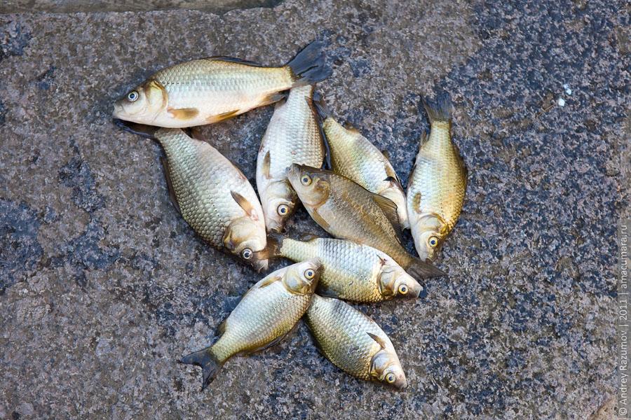 vaskafish
